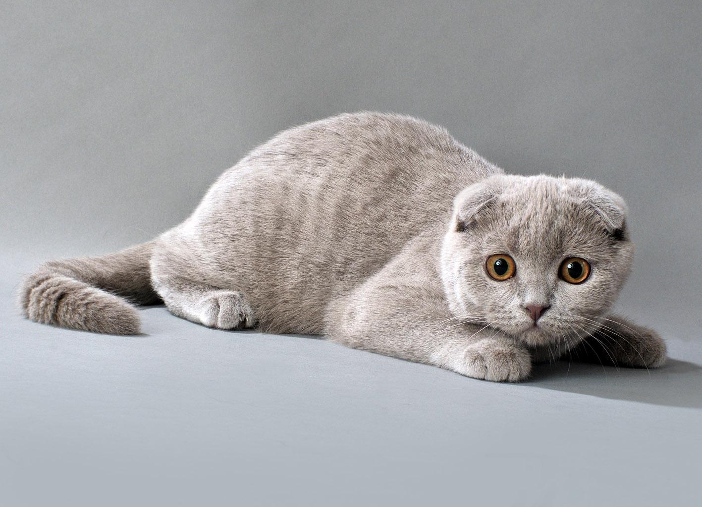 Сгибание ушей у котят
